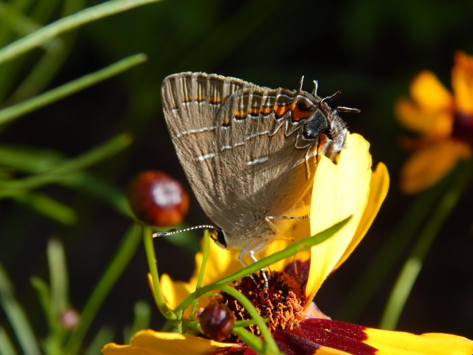 Soapberry Hairstreak Butterfly (Phaeostrymon alcestis)